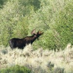 Closest I got to a full moose photo. Heavily cropped.