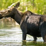 Female Bull Moose 2