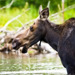 Female Bull Moose
