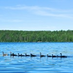 Canadian Geese - Tom Thompson Lake
