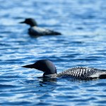 Common Loons - Bartlett Lake