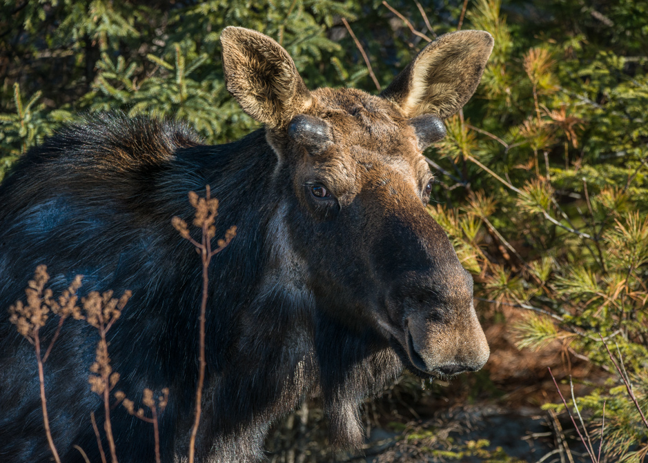 A spring moose on Highway 60 in Algonquin Park