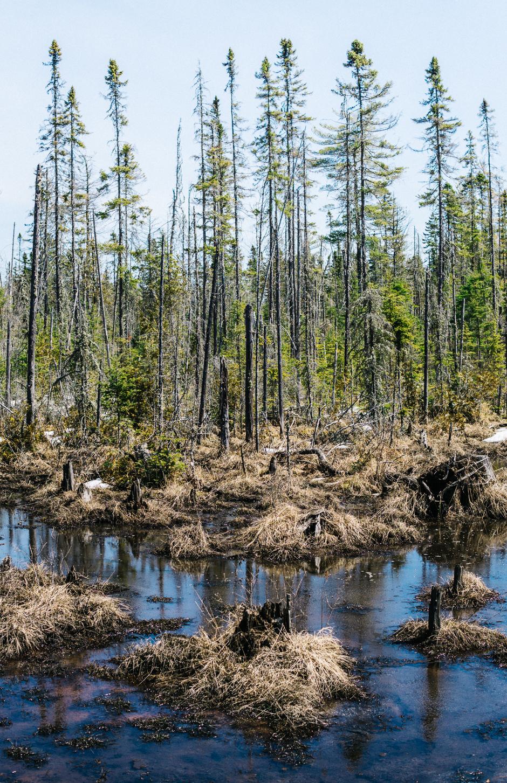 Swamps in Spring - Algonquin Park