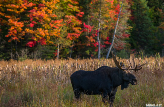 Moose on Highway 60 in Fall, Algonquin Park